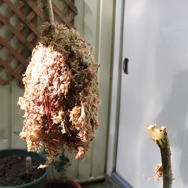 フィカスウンベラータの取り木