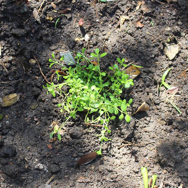 T町ハウスの改修 - 庭(3)植物を植える - クラピアS1