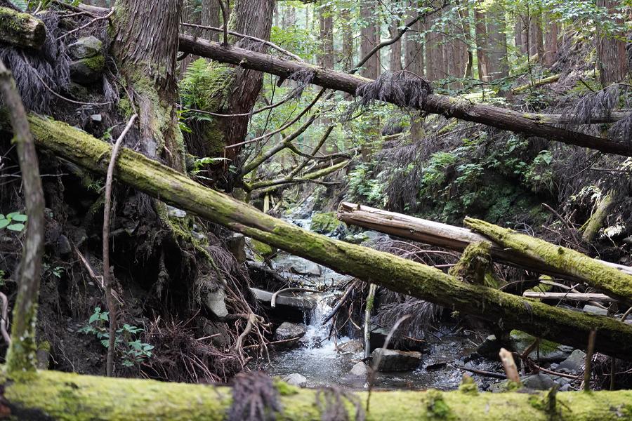 智頭の杉林、渓流と倒木