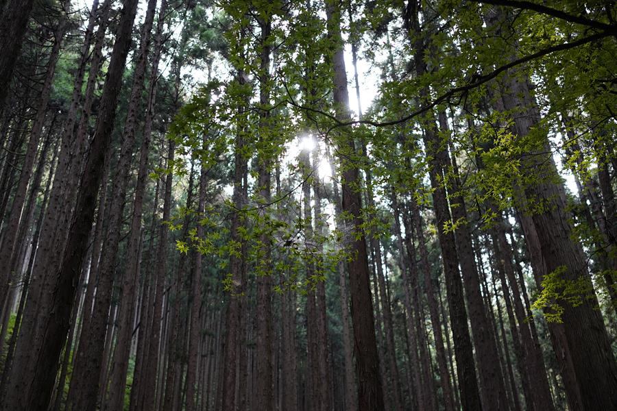 智頭の杉林